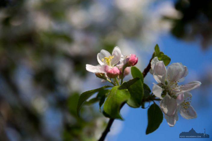 Apfelblüte in der Windlücke