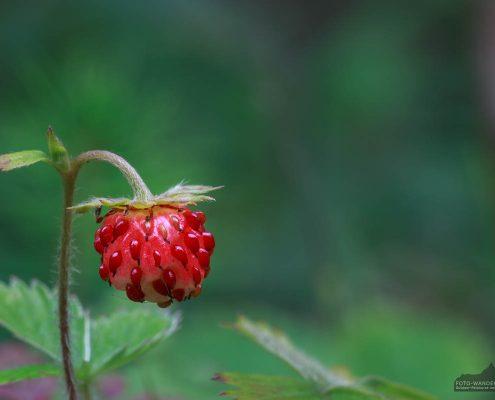 Wald-Erdbeere im Harz