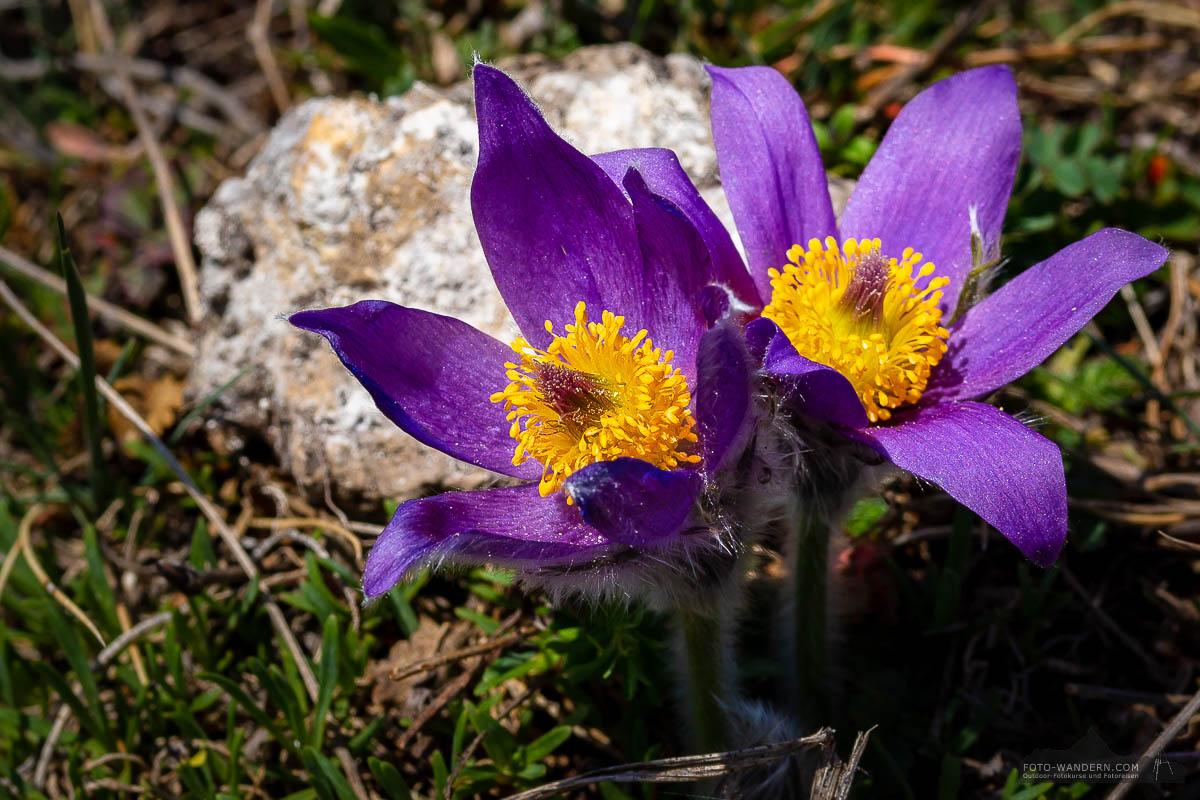 Kuhschellen auf dem Fotoworkshop-Wochenende Harz-Frühjahr